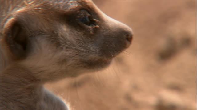 vídeos de stock, filmes e b-roll de a meerkat pup topples after it stands erect. - deserto de kalahari