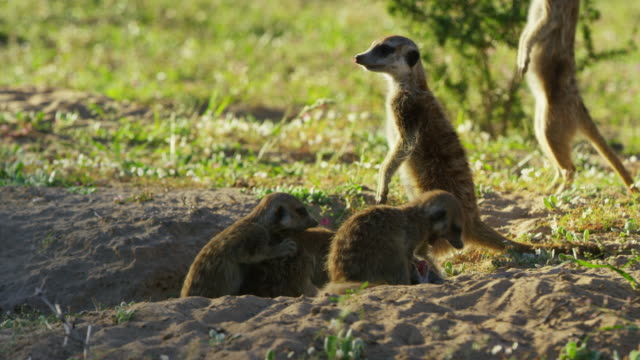 meerkat pups and juveniles play fighting at mouth of burrow - medium group of animals stock videos & royalty-free footage