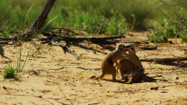 meerkat pups and juveniles play fighting - medium group of animals stock videos & royalty-free footage