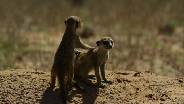 meerkat pups cuddle and look around - piccolo gruppo di animali video stock e b–roll