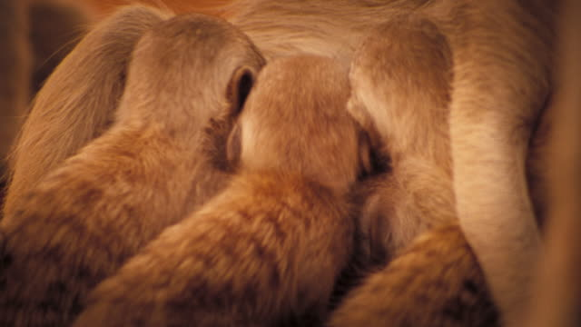 meerkat pups feed from their mother. available in hd. - mammal stock videos & royalty-free footage