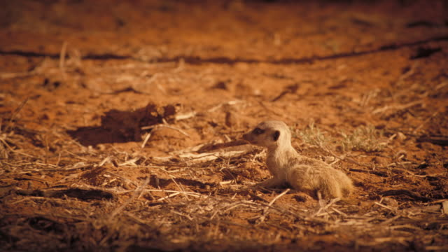 vídeos y material grabado en eventos de stock de a meerkat rises out of its hole in the ground. available in hd. - desierto del kalahari