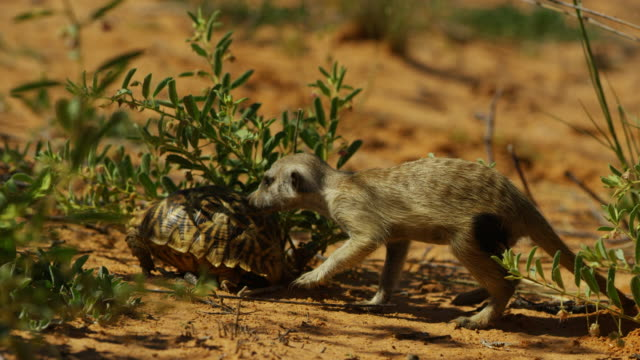 meerkat runs up and sniffs angulate tortoise which withdraws into its shell - tortoise shell stock videos & royalty-free footage