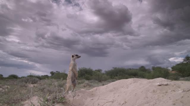 meerkat (suricata suricatta) sentry stands and peers around in desert, south africa - guarding stock videos & royalty-free footage