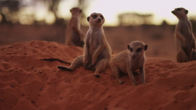 vidéos et rushes de meerkat sits comically in group on sand - terrier création animale