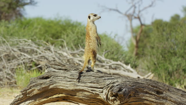 vídeos de stock, filmes e b-roll de meerkat sits on fallen trunk then stands up and looks around - 30 segundos ou mais
