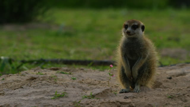 ms meerkat sits upright and looks around - 40 o più secondi video stock e b–roll