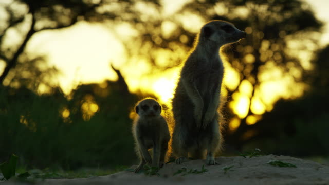 meerkat sitting at burrow with pup and sunset in background - twilight stock videos & royalty-free footage