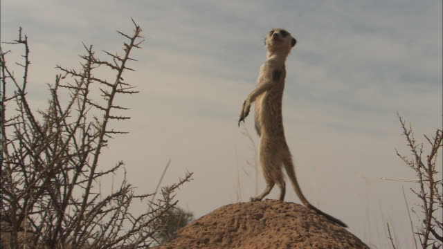 ms, meerkat standing on mound in desert and looking around, south africa - posizione descrittiva video stock e b–roll