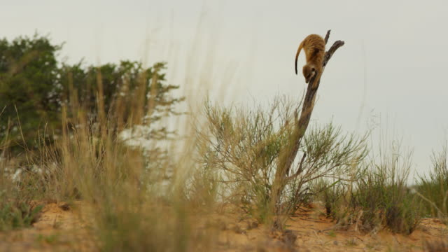 ws meerkat standing on top of dead tree looking around then jumps down - one animal stock videos & royalty-free footage