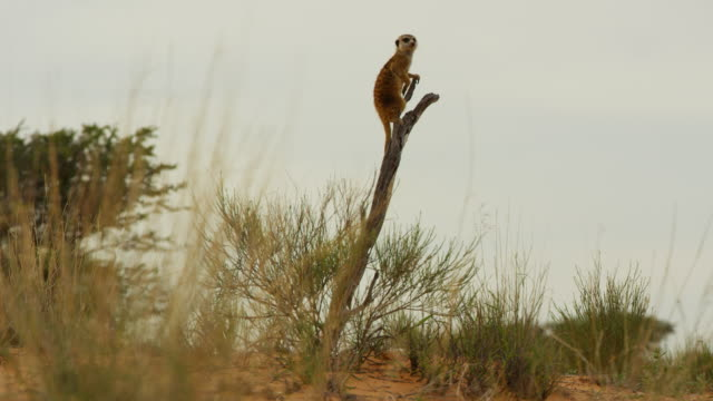 ws meerkat standing on top of dead tree looking around - one animal stock videos & royalty-free footage