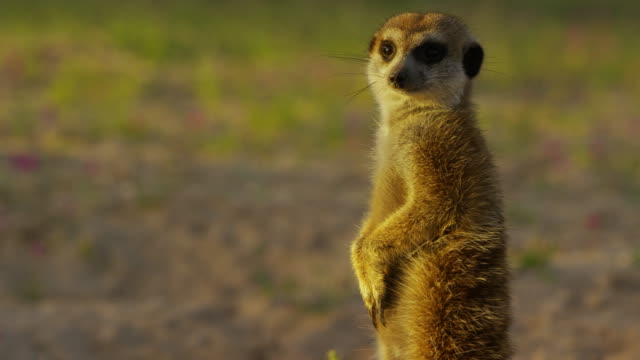 cu meerkat standing upright and looking around nervously - alertness stock videos & royalty-free footage