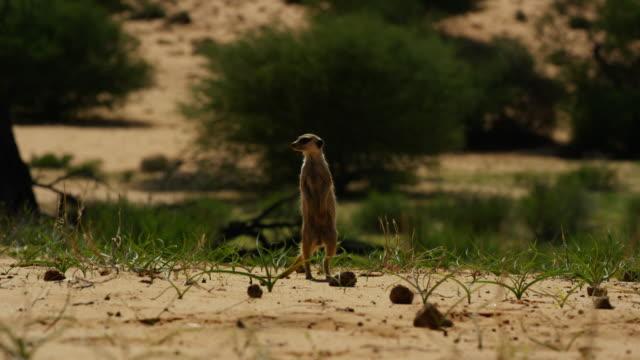 meerkat standing upright looking round in desert - one animal stock videos & royalty-free footage