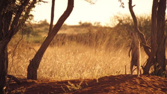 vídeos y material grabado en eventos de stock de a meerkat stands alert in the shade of a tree in the kalahari desert. available in hd. - desierto del kalahari