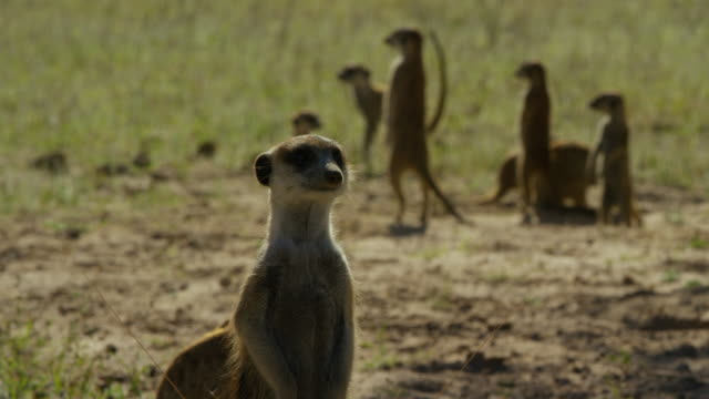vidéos et rushes de cu meerkat stands and looks round with others in background then drops out of frame - groupe moyen d'animaux