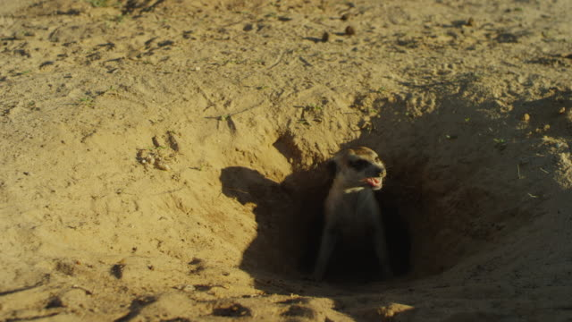 meerkat stands at mouth of burrow and calls aggressively - animal call stock videos & royalty-free footage