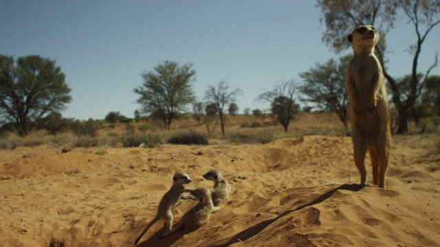 meerkat stands by burrow as 3 pups playfight - young animal stock videos & royalty-free footage