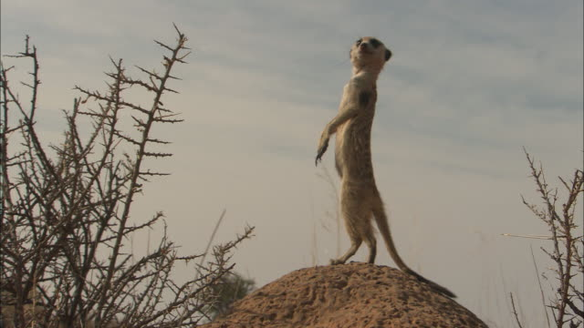 a meerkat stands on its hind legs on a mound. - posizione descrittiva video stock e b–roll