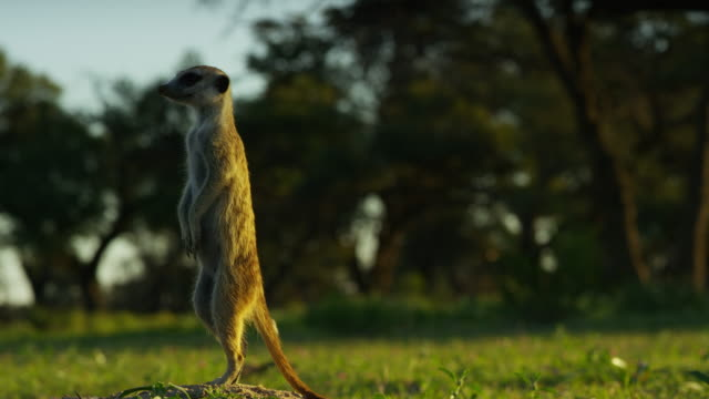 ms meerkat stands resting on tail and looks up in the air - 40 o più secondi video stock e b–roll