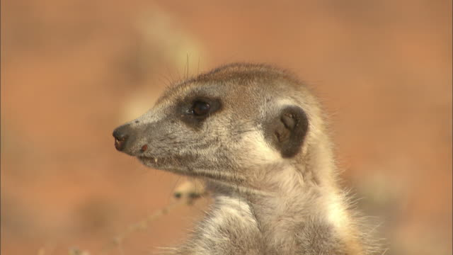 a meerkat stands with its claws on its belly. - claw stock videos & royalty-free footage