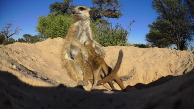 vídeos y material grabado en eventos de stock de meerkat sucking very active pups at mouth of burrow very close to camera - small group of animals