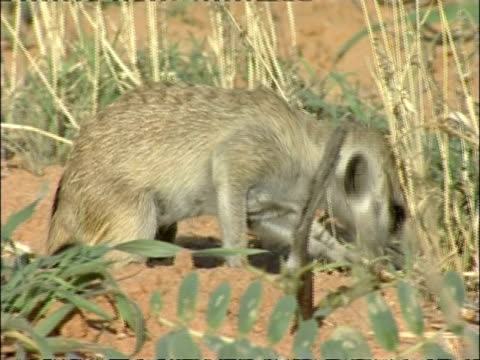 cu meerkat, suricata suricatta, foraging through sand, kuruman river reserve, south africa - foraging stock videos & royalty-free footage