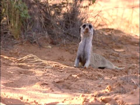 vídeos y material grabado en eventos de stock de ms meerkat, suricata suricatta, looking up at sky for aerial predator, kuruman river reserve, south africa - desierto del kalahari