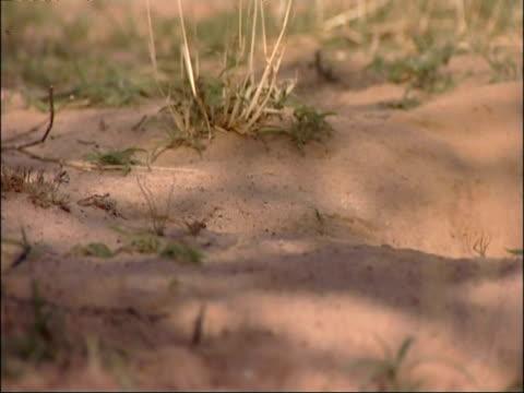 MS Meerkat, Suricata suricatta, poking head up from burrow, looking around, Kuruman River Reserve, South Africa