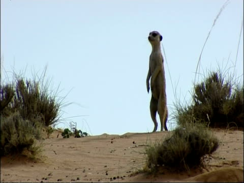 wa meerkat, suricata suricatta, standing and looking, zoom in to ms, kuruman river reserve, south africa - zoom out 個影片檔及 b 捲影像