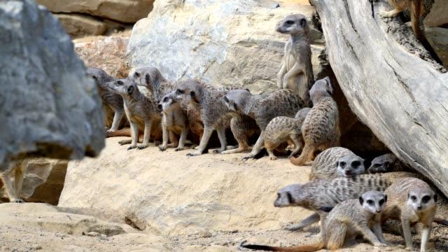 meerkat, suricata suricatta - group of animals stock-videos und b-roll-filmmaterial