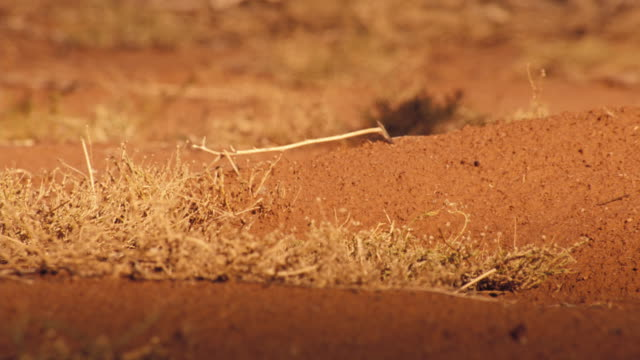A meerkat trots along the savanna, enters her hole and brings out a kit. Available in HD.
