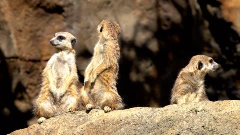 vídeos y material grabado en eventos de stock de suricata - animal