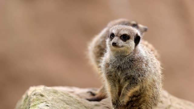 meerkat (suricata suricatta) - group of animals stock-videos und b-roll-filmmaterial