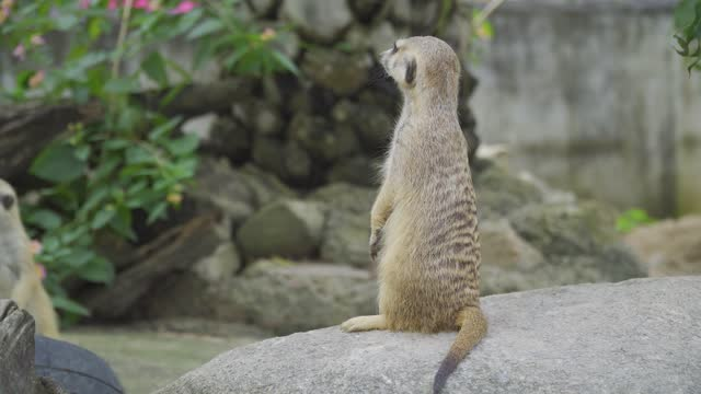 meerkat - small group of animals stock videos & royalty-free footage