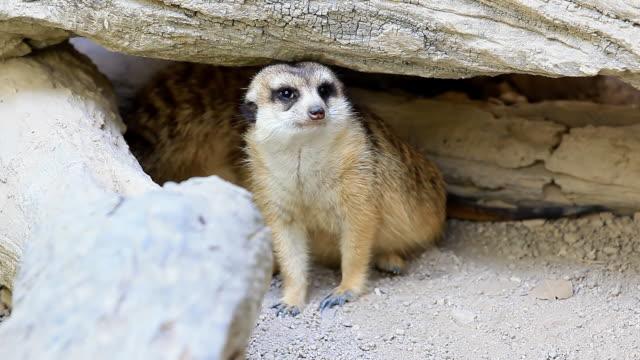 vídeos de stock, filmes e b-roll de suricato - olhando ao redor