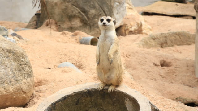 vídeos de stock, filmes e b-roll de suricato - boa postura
