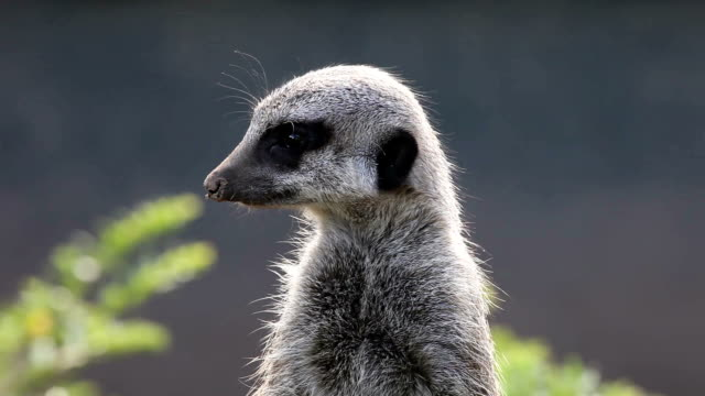 meerkat - meerkat stock videos & royalty-free footage