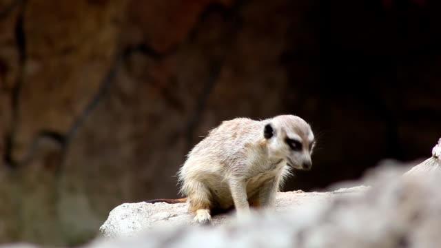 スリカータ(suricata suricatta ) - アデレード点の映像素材/bロール