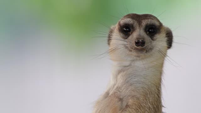 4k: meerkat - zoo stock videos and b-roll footage