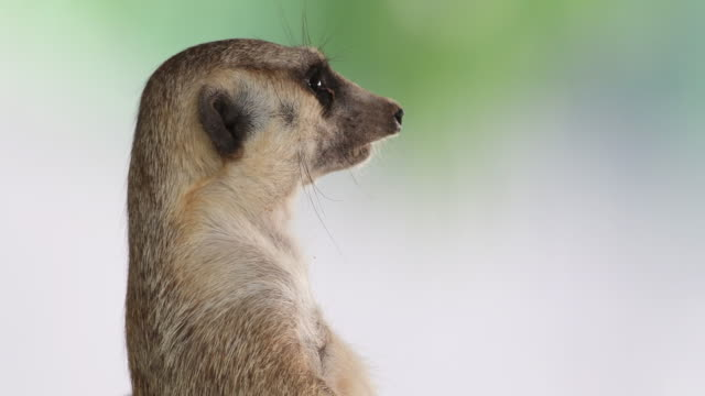 4k: meerkat - head stock videos & royalty-free footage