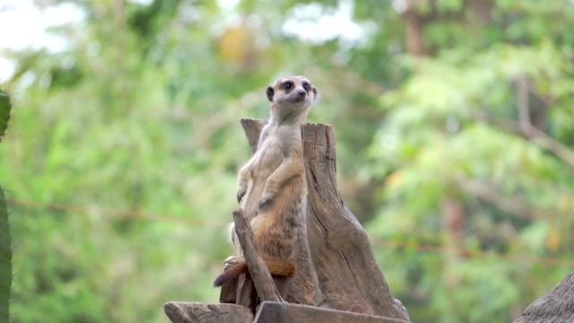 stockvideo's en b-roll-footage met meerkat - dierentuin