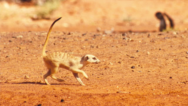 a meerkat walks gingerly as it favors a paw. available in hd. - カラハリ砂漠点の映像素材/bロール