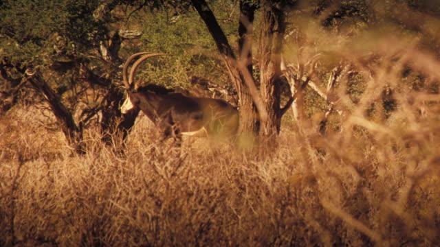 vídeos y material grabado en eventos de stock de a meerkat watches a gemsbok saunter behind him in the kalahari desert. available in hd. - desierto del kalahari