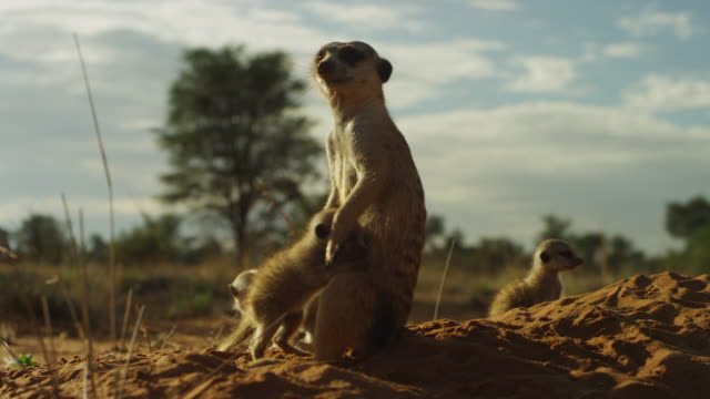 ms meerkat with 2 active pups as one pushes in for a cuddle - young animal stock videos & royalty-free footage