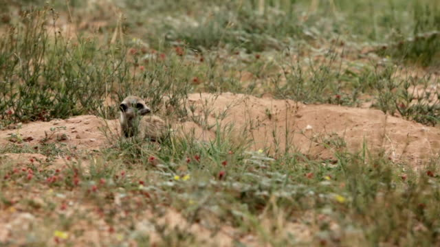 Meerkat with its mother, Kgalagadi Transfrontier Park, South Africa