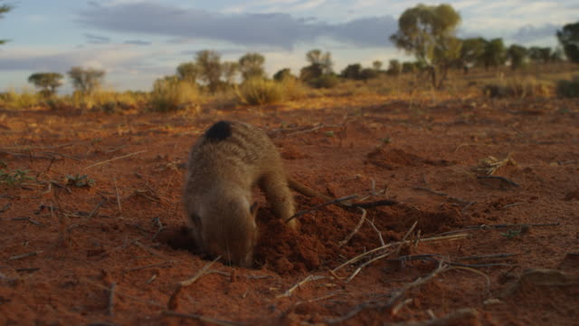 meerkat with sand on its face foraging and digging very close to camera - foraging stock videos & royalty-free footage