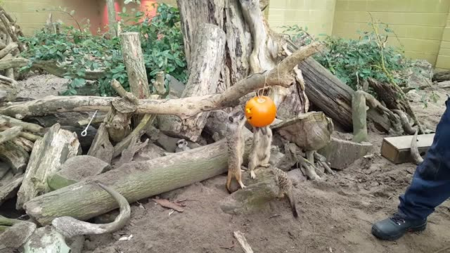 meerkats at port lympne reserve near ashford kent enjoys some enrichment with halloween pumpkins filled with treats - meerkat stock videos & royalty-free footage