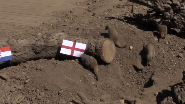 meerkats at twycross zoo.in leicestershire predict an england win over croatia in wednesday's world cup semi-final. - semifinal round stock videos & royalty-free footage