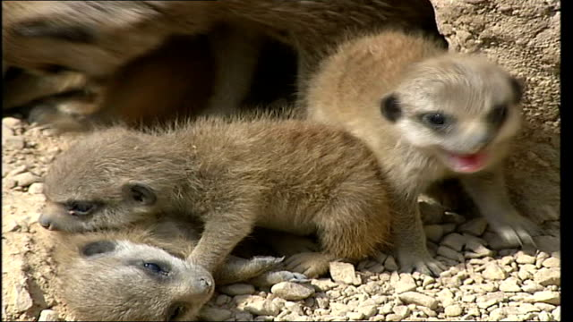 london regent's park london zoo ext three baby meerkats huddled close together adult meerkat sitting up on hind legs face of adult meerkat - meerkat stock videos & royalty-free footage