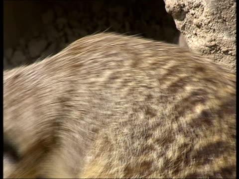 meerkats born in london zoo / general views of baby meerkats england london regent's park london zoo ext various of baby meerkats with two adult... - meerkat stock videos & royalty-free footage
